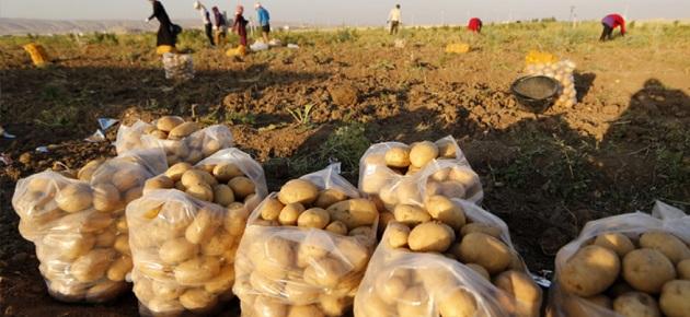وقف تصدير البطاطا حتى منتصف آذار 2022