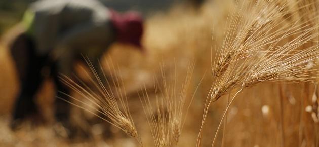 اتحاد الفلاحين: محصولا القمح والشعير في خطر