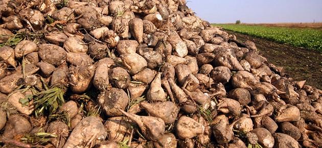 هل يختفي محصول الشوندر السكري من سورية؟